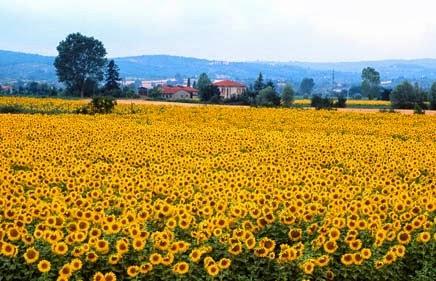Girassóis na Toscana